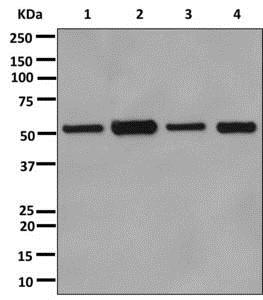 Western blot - Anti-alpha Tubulin antibody [EPR13478(B)] - Loading Control (ab176560)