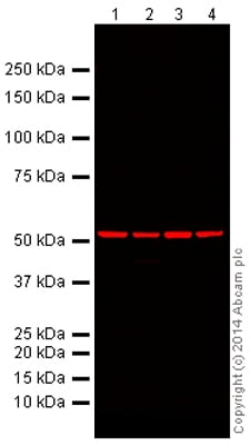 Western blot - Mouse Loading Control Antibody Panel (Alexa Fluor® 680) (ab199716)