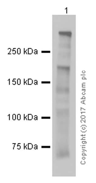 Western blot - Anti-Dystrophin antibody [EPR9598(ABC)] - BSA and Azide free (ab199717)