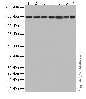 Western blot - Anti-Collagen VI antibody [EPR17077] - C-terminal (ab199720)