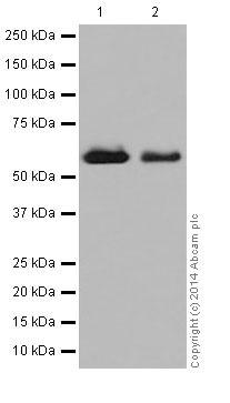 Western blot - Anti-CRMP1 antibody [EP14521] (ab199722)