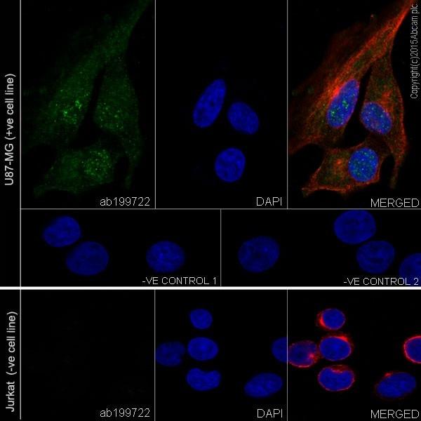 Immunocytochemistry/ Immunofluorescence - Anti-CRMP1 antibody [EP14521] (ab199722)