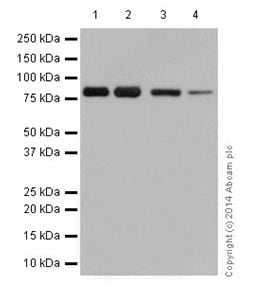 Western blot - Anti-SCIN antibody [EPR16310] - C-terminal (ab199723)