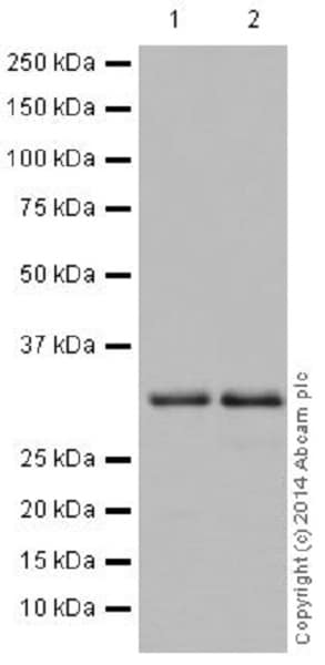 Western blot - Anti-Cdk4 antibody [EPR17525] (ab199728)