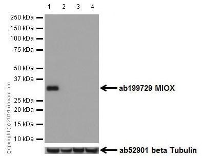Western blot - Anti-MIOX antibody [EPR17172] (ab199729)
