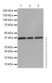 Western blot - Anti-TRUB2 antibody [EPR17326] (ab199731)