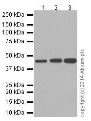 Western blot - Anti-VASH1 antibody [EPR17420] (ab199732)