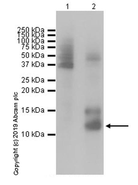 Western blot - Anti-Histone H4 (mutated G48 D) antibody [EP19111] (ab199739)