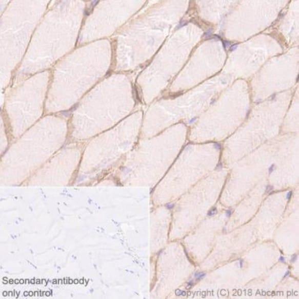 Immunohistochemistry (Formalin/PFA-fixed paraffin-embedded sections) - Anti-Alpha Dystroglycan antibody [45-3] (ab199768)
