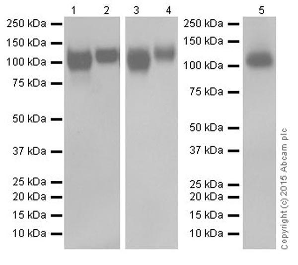 Western blot - Anti-LAMP2 antibody [EPR19512] (ab199946)