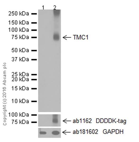 Western blot - Anti-TMC1 antibody [EPR19527] (ab199949)
