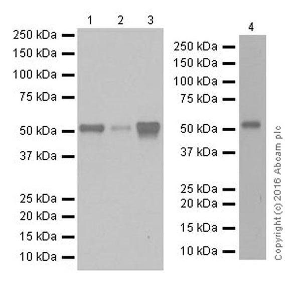 Western blot - Anti-LKB1 antibody [EPR19379] (ab199970)