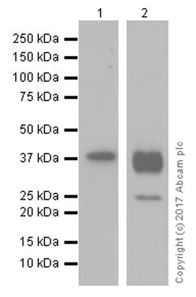 Western blot - Anti-Aquaporin 2 antibody [EPR21080] (ab199975)
