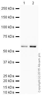 Western blot - Anti-YY1 antibody [EPR4652] - Nuclear Loading Control (HRP) (ab199998)