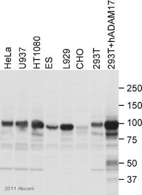 Western blot - Anti-ADAM17 antibody (ab2051)