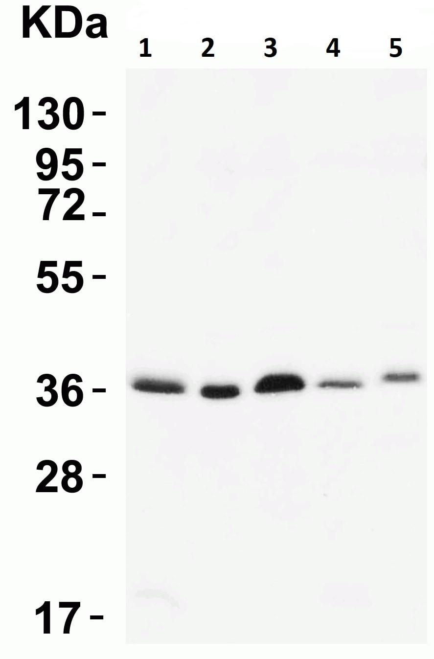 Western blot - Anti-MyD88 antibody (ab2064)