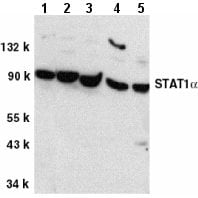 Western blot - Anti-STAT1 alpha antibody (ab2071)