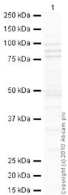 Western blot - Anti-Cyclin T1 antibody (ab2098)