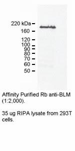 Western blot - Anti-Blooms Syndrome Protein Blm antibody (ab2179)