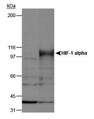 Western blot - Anti-HIF-1 alpha antibody - ChIP Grade (ab2185)