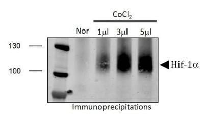 Immunoprecipitation - Anti-HIF-1 alpha antibody - ChIP Grade (ab2185)
