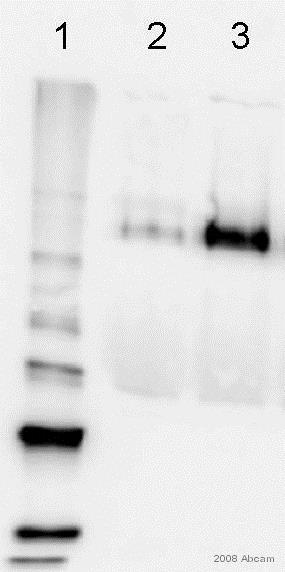 Western blot - Anti-ICAM1 antibody [MEM-111] (ab2213)