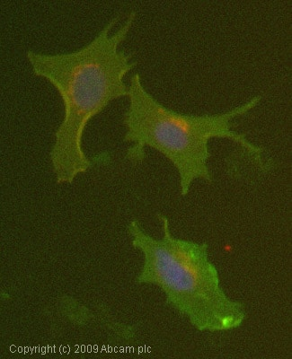 Immunocytochemistry/ Immunofluorescence - Anti-HLA Class I antibody [MEM-123] (ab2217)