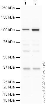 Western blot - Anti-Caspase-2L antibody (ab2251)