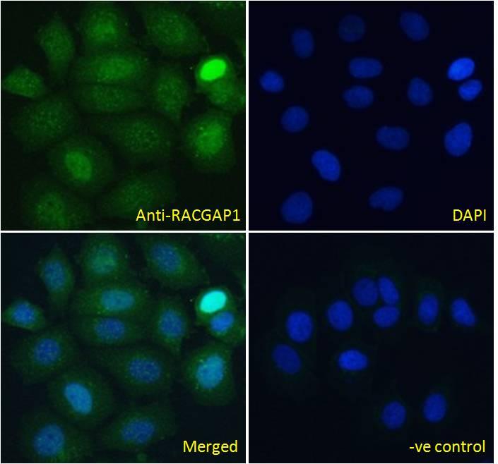 Immunocytochemistry - Anti-RACGAP1/MGCRACGAP antibody (ab2270)