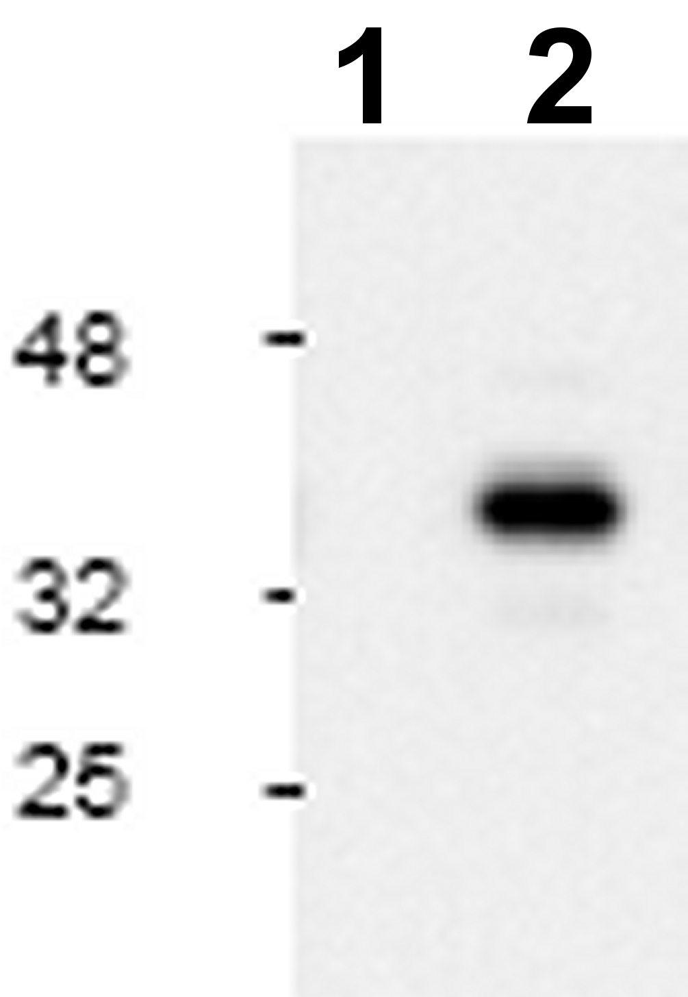 Western blot - Anti-Cleaved Caspase-9 antibody (ab2324)