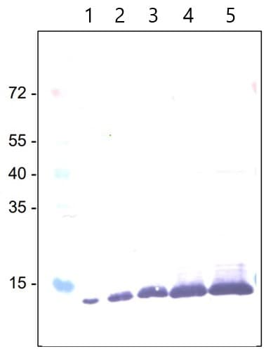 Western blot - E. coli Positive Control (Escherichia coli ) Whole Cell Lysate - expressing 6X His tag protein (ab2431)