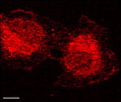 Immunocytochemistry/ Immunofluorescence - Anti-MMP2 antibody [4D3] (ab2462)