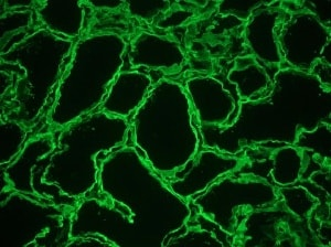 Immunohistochemistry (Frozen sections) - Anti-Heparan Sulfate Proteoglycan 2/Perlecan antibody [A7L6] (ab2501)