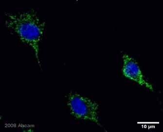 Immunocytochemistry/ Immunofluorescence - Anti-Holocytochrome C antibody (ab2542)