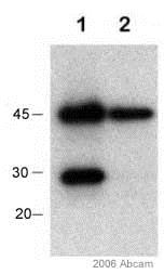 Immunoprecipitation - Anti-Bcl-XL antibody (ab2568)