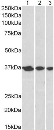 Western blot - Anti-APE1 antibody (ab2717)