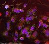 Immunocytochemistry/ Immunofluorescence - Anti-TRAP1 antibody [TRAP1-6] (ab2721)