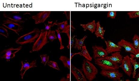 Immunocytochemistry/ Immunofluorescence - Anti-NFAT1 antibody [25A10.D6.D2] - ChIP Grade (ab2722)