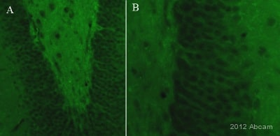Immunohistochemistry (PFA perfusion fixed frozen sections) - Anti-PSD95 antibody [6G6-1C9] - Synaptic Marker (ab2723)