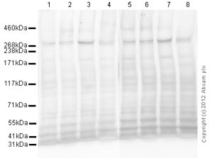 Western blot - Anti-M6PR (cation independent) antibody [2G11] (ab2733)