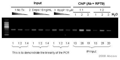 ChIP - Anti-Aryl hydrocarbon Receptor antibody [RPT9] - ChIP Grade (ab2769)