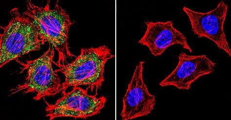 Immunocytochemistry/ Immunofluorescence - Anti-Aryl hydrocarbon Receptor antibody [RPT9] - ChIP Grade (ab2769)