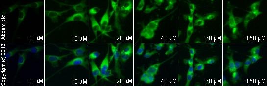 Immunocytochemistry/ Immunofluorescence - Anti-Aryl hydrocarbon Receptor  antibody [RPT1] - ChIP Grade (ab2770)