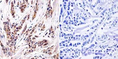 Immunohistochemistry (Formalin/PFA-fixed paraffin-embedded sections) - Anti-Aryl hydrocarbon Receptor  antibody [RPT1] - ChIP Grade (ab2770)