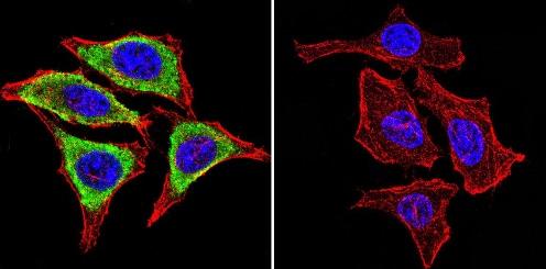 Immunocytochemistry/ Immunofluorescence - Anti-GRP94 antibody [9G10] (ab2791)