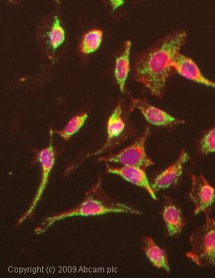 Immunocytochemistry/ Immunofluorescence - Anti-Grp75/MOT antibody [JG1] (ab2799)