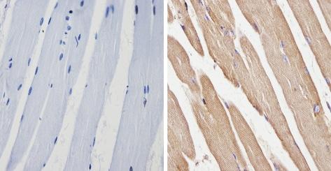 Immunohistochemistry paraffin embedded sections - Anti-beta 1 Spectrin antibody [4C3] (ab2808)