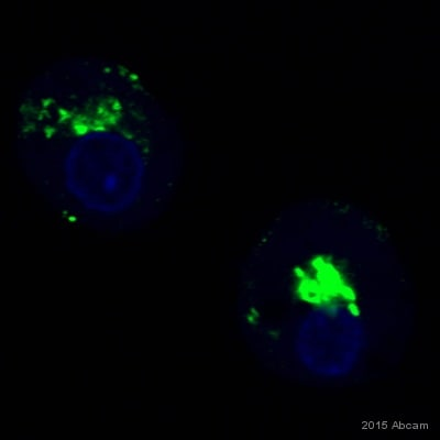Immunocytochemistry/ Immunofluorescence - Anti-TGN46 antibody [2F7.1] (ab2809)