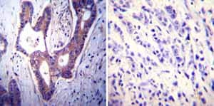 Immunohistochemistry (Formalin/PFA-fixed paraffin-embedded sections) - Anti-Calcium Pump pan PMCA ATPase antibody [5F10] (ab2825)