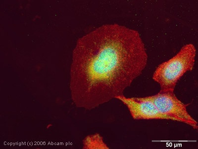 Immunocytochemistry/ Immunofluorescence - Anti-SRC3 antibody - ChIP Grade (ab2831)